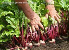 Свекла - культура неприхотливая, но несколько советов можно дать. Многие огородники не любят крупную свеклу. Если хотите получить овощ поменьше, сажайте не как обычно растения на расстоянии 8 - 10 см в ряду и 18 - 20 см в междурядьях, а сократите между рядами расстояние до 10 - 12 см.