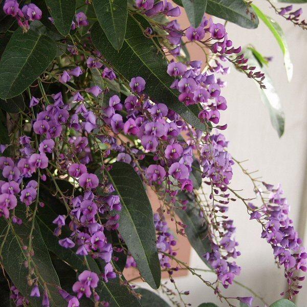 Hardenbergia violacea 'Happy Wanderer' - Purple Vine Lilac