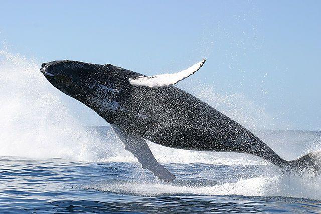#Avistamiento de ballenas, oferta estelar de turismo panameño - PanamaOn: PanamaOn Avistamiento de ballenas, oferta estelar de turismo…