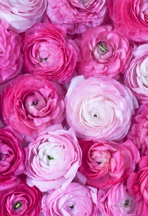 Pink Ranunculus Flower Www Skinnymetea Au