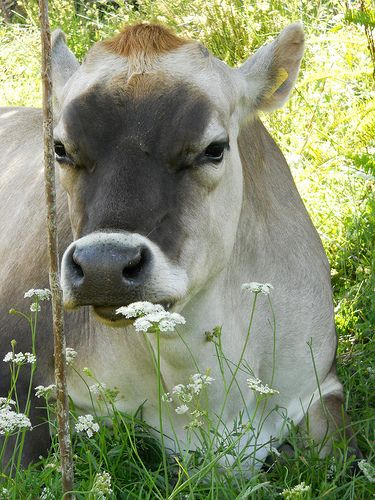 Wake up and smell the flower? #Jerseycow