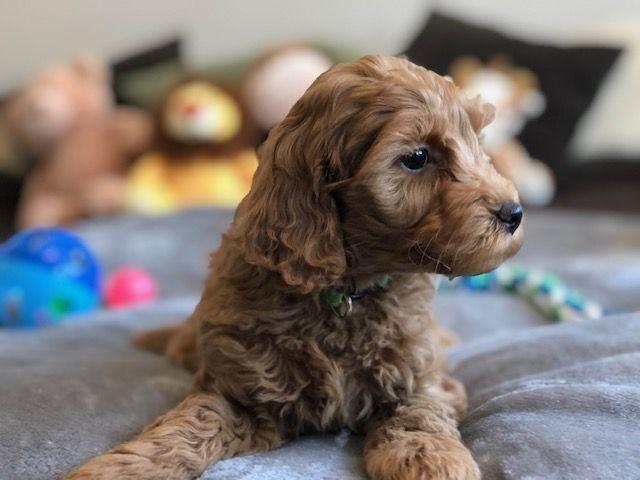 Miniature Labradoodle | Teddy Bear Dog | Labradoodle, Small