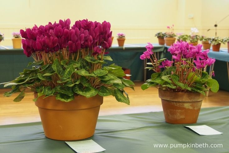 Some examples of Cyclamen persicum cultivars shown for flower.
