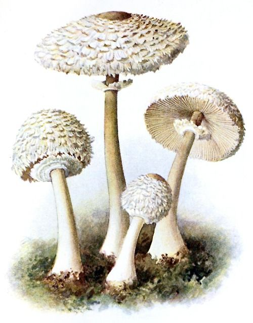 Onion-stalked Lepiota (Lepiota cepaestipes)    Albin Schmalfuss, from Führer für Pilzfreunde (The mushroom lover's guidebook) vol. 2, by Edmund Michael, Zwickau, 1901.