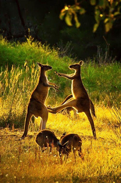 Kangaroo Fun -- Australia