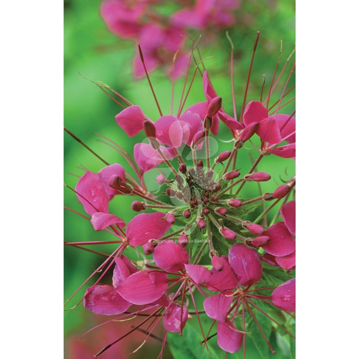 Cleome spinosa 'Violet Queen'