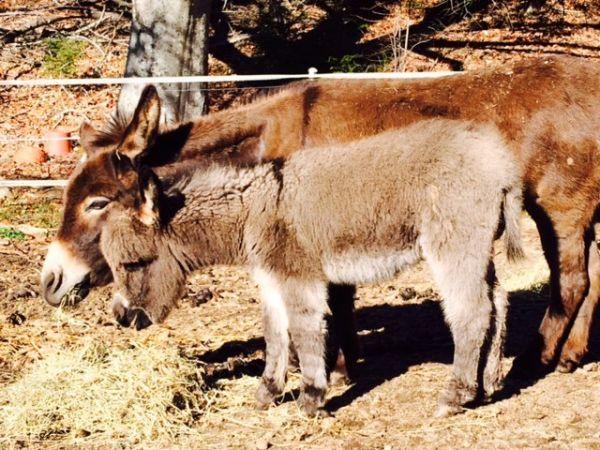 Beautiful Mini donkey Herd Reduction sale