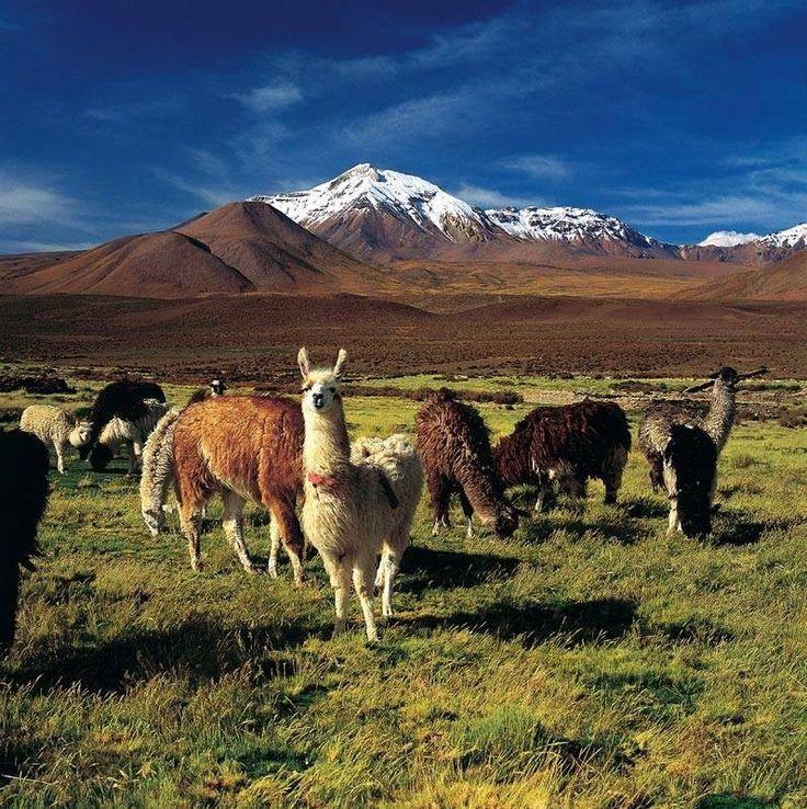 Llamas, de fondo el Volcan Isluga, Chile