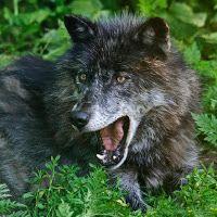 Grey-Black-Wolf Haida