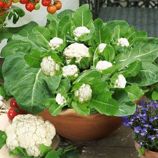 Cultivar coliflores en maceta