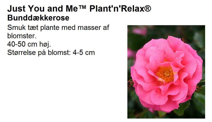 'Just You and Me' Tät med massor av blommor. Höjd: 40-50 cm. Blommornas storlek: 4-5 cm.