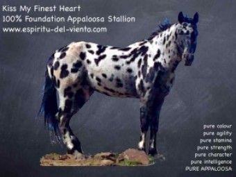 Comprar caballo (Kiss My Finest Heart), (Appaloosa), (Raid), (otros) en venta
