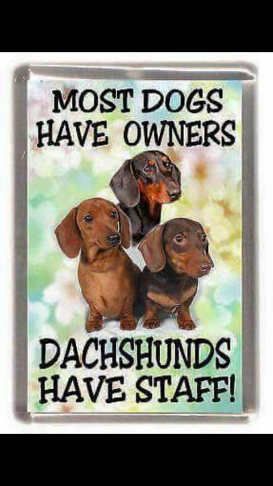 Dachshunds have staff, not owners