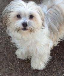 Phillip is an adoptable Chinese Crested Dog Dog in Madison Heights, MI. Meet Phillip! He is a handsome 1 year old Chinese Crested Powder Puff. His owner was losing her home and had nowhere for him to ...