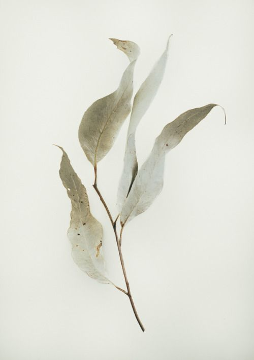The eucalypt leave such an elegantly simple shape and the colours are as soft as....but beaurmtiful..this is a beautiful depiction.