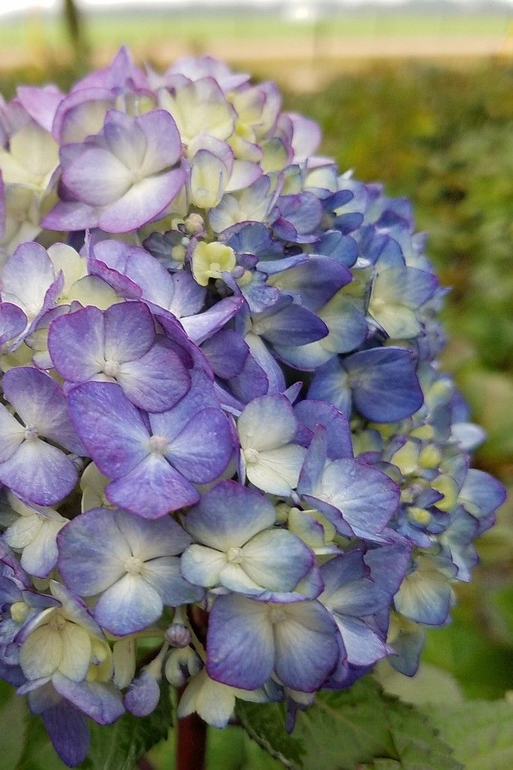 When it comes to part-shade reblooming shrubs, look no further than Endless Summer Hydrangeas. This Bloomstruck Hydrangea is blooming once again, and will continue to bloom before the year is out. Fantastic for mass plantings.