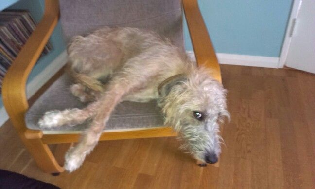 The lovely Sidney on his favourite chair - bedlington whippet lurcher