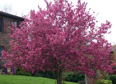 Flowering Crab Apple Trees are brilliant in their color and are thick with blooms. They are one of my favorite flowering trees !