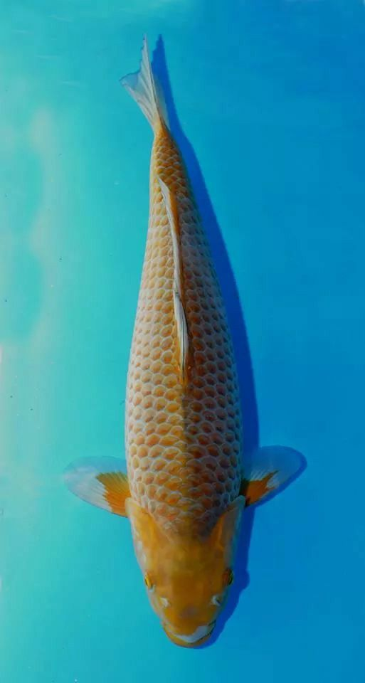 1000 images about koi fish on pinterest for Koi fish head