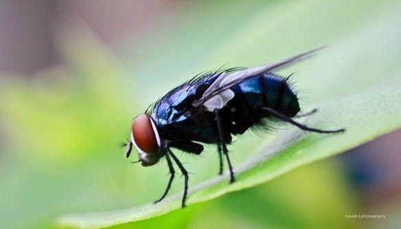 Apa Alasan Allah Ciptakan Lalat di Muka Bumi Simak Supaya paham Gan ! Lalat menjadi salah satu hewan yang tidak disukai oleh sebagai orang. Hal ini dikarenakan lalat kerap kali hinggap dan bahkan masuk ke dalam makanan ataupun minuman kita. Sehingga orang yang mengalaminya akan merasa jijik dengan hal tersebut. Terlebih lagi kita ketahui bahwa lalat memang hidup di tempat yang kotor seperti tempat sampah kotor hewan dan lainnya. Maka tidak heran banyak orang yang merasa bahwa lalat adalah…