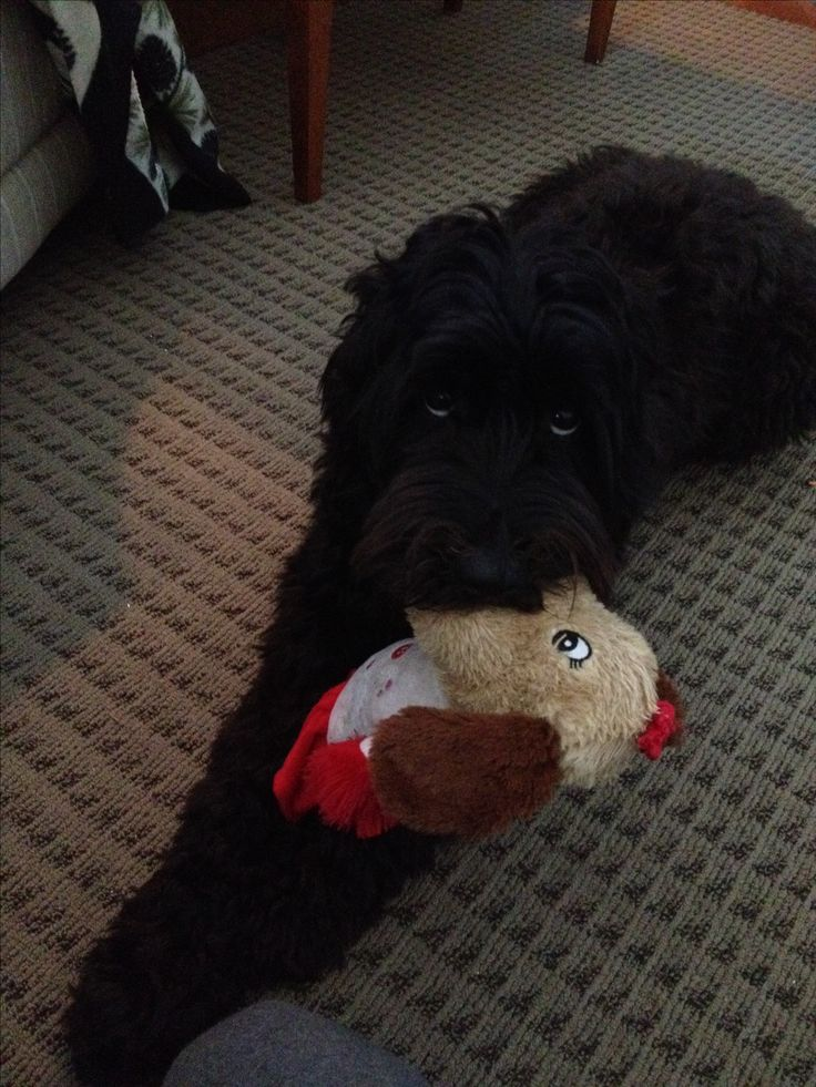 Cutest black labradoodle EVER! She is playing with her toy she got for Christmas.