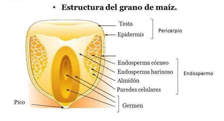 estructura-grano-maíz.jpg (942×509)