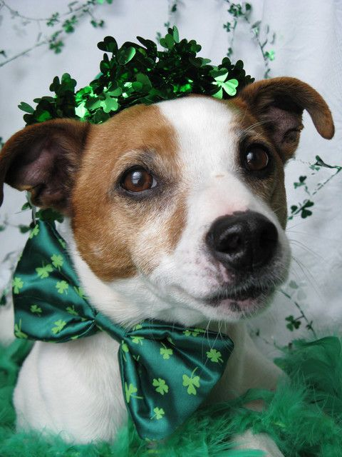 Happy St. Patrick's Day; looks like my old Jack Russell, Winston.