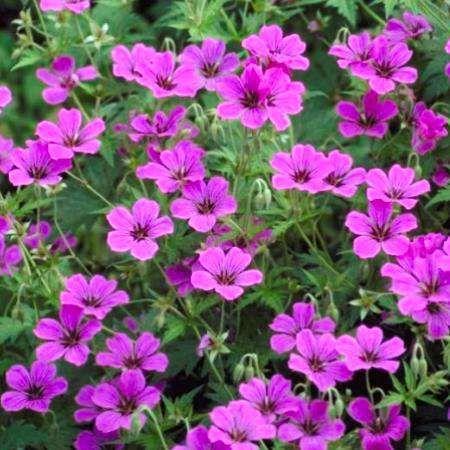 Geranium 'Praticia' is een bladverliezende (hybride) ooievaarsbek met een polvormende, bossige habitus. De bladeren zijn donkergroen, diep ingesneden en kleuren mooi rood in de herfst. Deze geranium bloeit van juni tot september met karmijnroze tot magentarode bloemen, die decoratief donker geaderd zijn. De plant houdt van een standplaats in de halfschaduw of zon, maar doet het ook in de volle schaduw en is tevreden met iedere goed doorlaatbare niet té vruchtbare grondsoort. Om de…