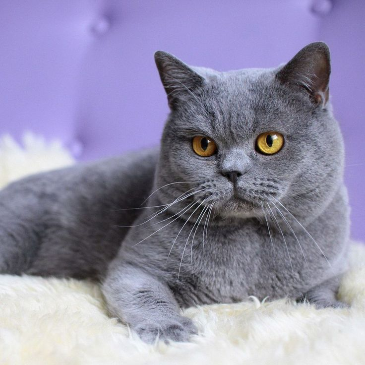 6 Most Beautiful Grey Cat Breeds That You Will Like  - Grey cat breeds are known their unique and beautiful color. If you want to have a breed of grey cats, here are some of your options:  British Shorth... -  British-Shorthair-grey cat .