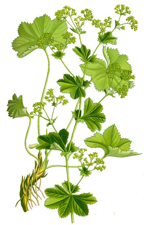Vanlig marikåpe (Alchemilla vulgaris)