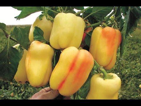 Что любит перец !!! И что Не любит перец !!! Перец большой любитель калия