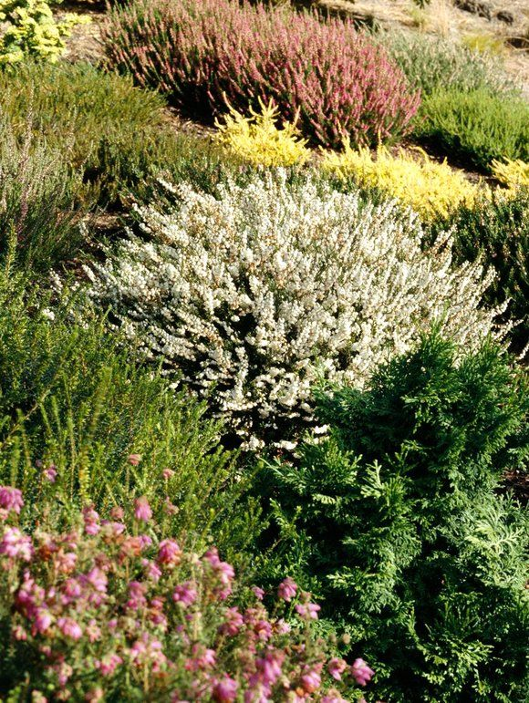 All About Growing Heathers And Heaths In The Garden Heather Gardens Heather Plant Evergreen Plants