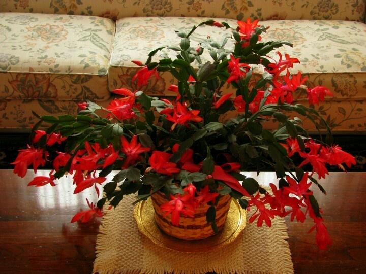 christmas cactus 1800flowers