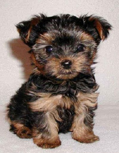 Mini Yorkshire Terrier Picture