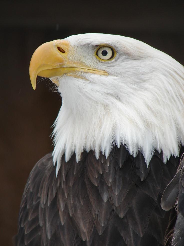 Bald headed eagle number 3
