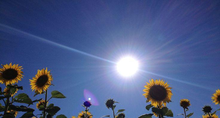 Marchigiano sunflowers.