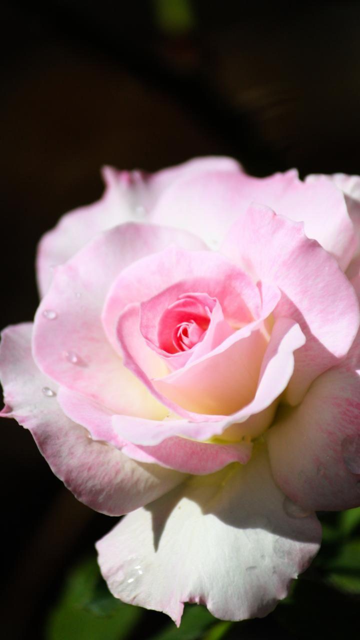 720x1280 Wallpaper Close Up Pink Rose Bloom Drops Flower Pink Flowers Wallpaper Flowers Purple Flowers Wallpaper