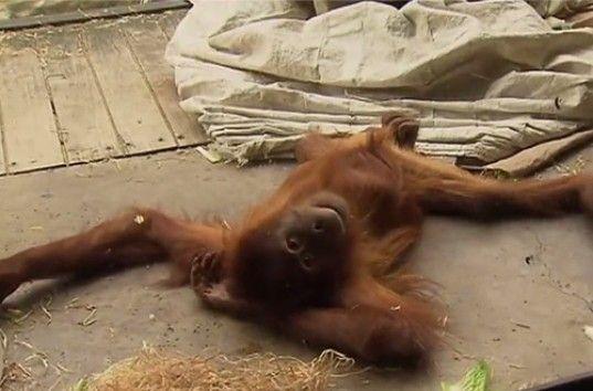 Самка орангутана продемонстрировала посетителям зоопарка брейк-данс (ВИДЕО)