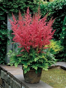 Astilbe: Perennial or container plant.  zone 4, part to full shade, h:2-4' w:2-4' moisture loving: