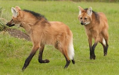 "Pair of Maned Wolves The maned wolf is also known for its distinctive odor, which has earned it the nickname ""skunk wolf."""