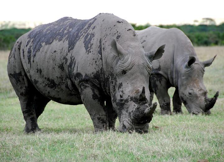 White Rhino Monday morning greetings! 🦏
