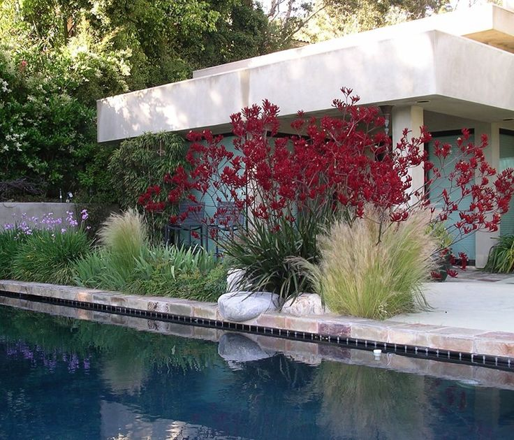 Garden Design: Red Kangaroo Paws provide a burst of poolside color in this modern landscape in Venice, CA | Landscaping Network