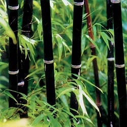 phyllostachys nigra  <<< black bamboo...I have this growing behind my outdoor shower in southwest Florida...and just love it...sometimes the color of it varies from eggplant to a greenish maroon