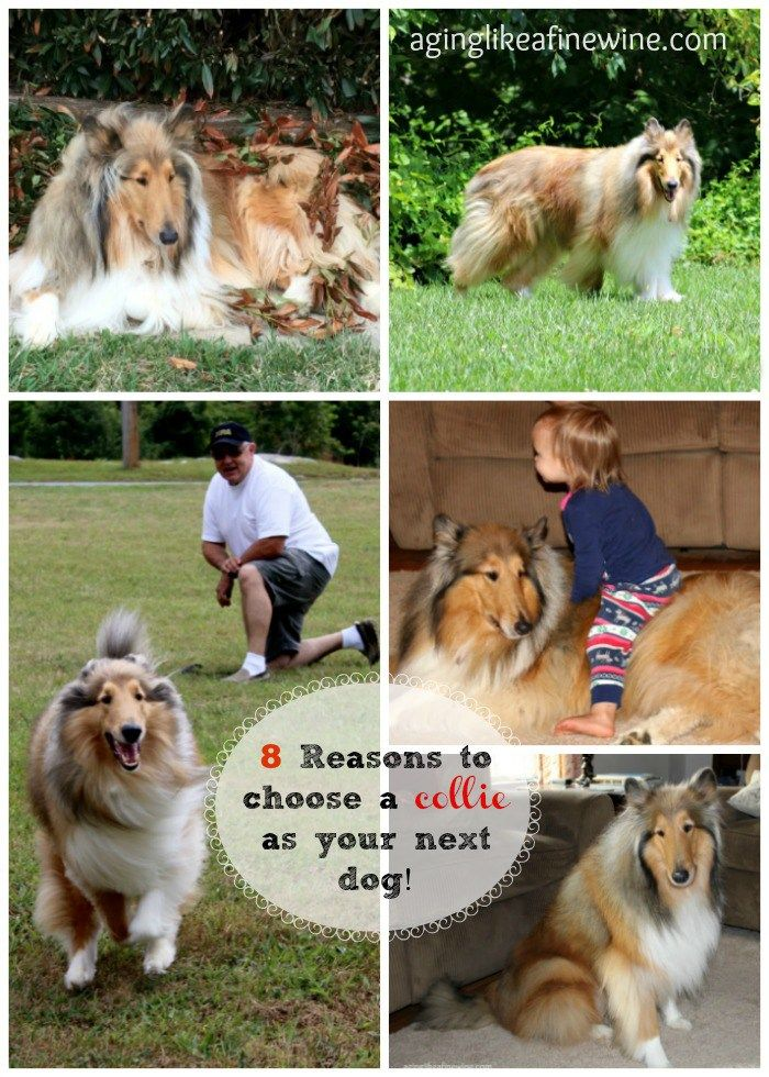 8 Reasons Your Next Dog Should Be A Rough Collie Rough Collie