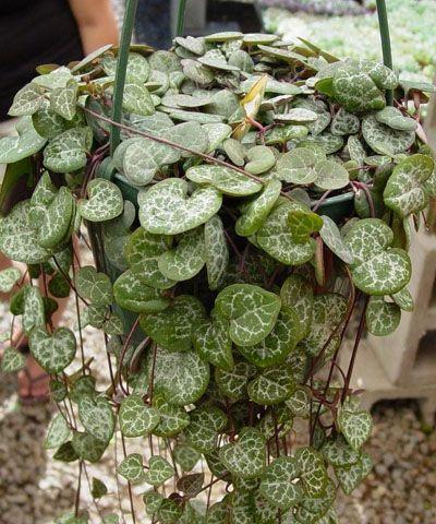 250 best images about house plants on pinterest rabbit foot fern vines and saintpaulia - House plants vines ...