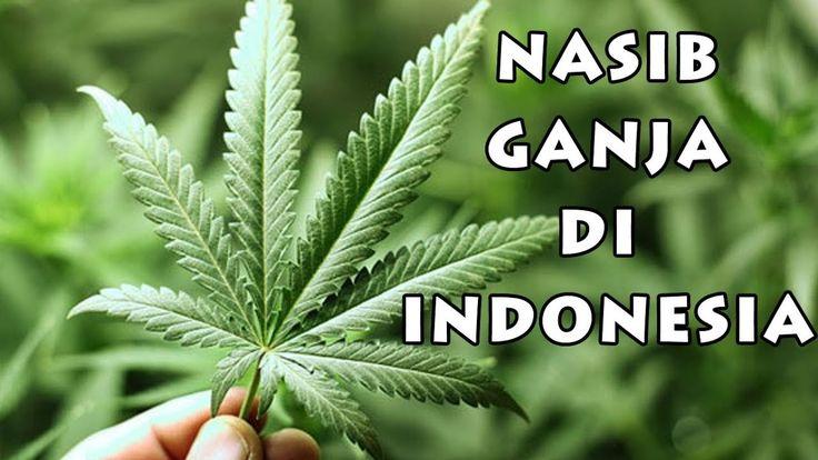 LEGALITAS GANJA DI INDONESIA??