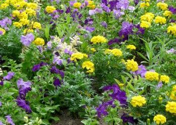 Однолетники повсюду выглядят великолепно: в палисаднике на садовой клумбе, балконе или террасе. Каждый год можно создавать из однолетних цветов новые комбинации с декоративными многолетниками и цветущими луковичными растениями.