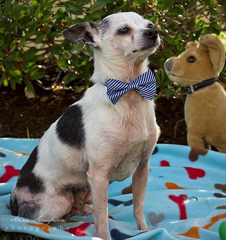 Meet Mickey, a Petfinder adoptable Chihuahua Dog Durham