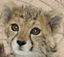 Read how you can help our latest rescue - a beautiful #cheetah cub in Ethiopia