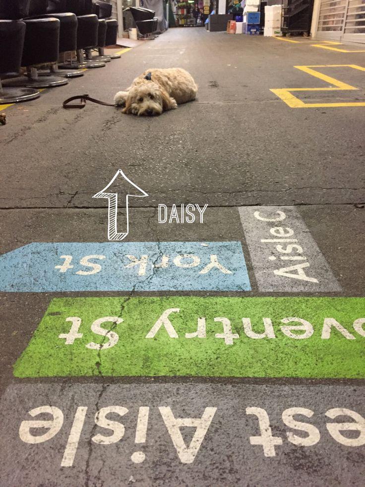 Spoodle / cockapoo Instagram @daisy.mccrazy South Melbourne Market